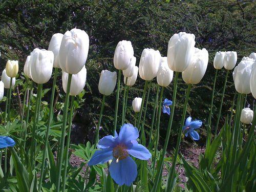 11 White tulips & blue poppy