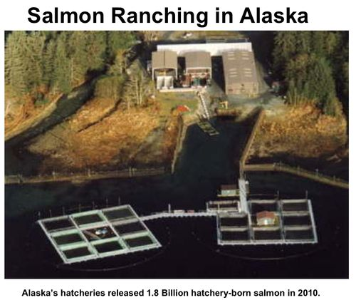 Salmon Ranching Alaska 2010
