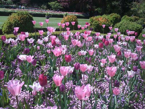 8 Tulips pink