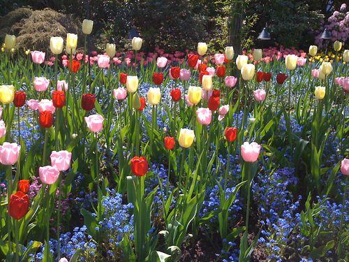 17 Tulips multi-colored