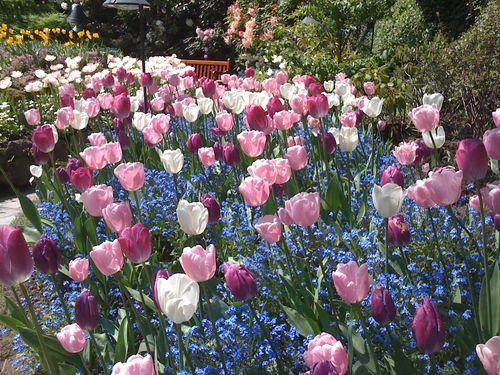 5 Tulips 1